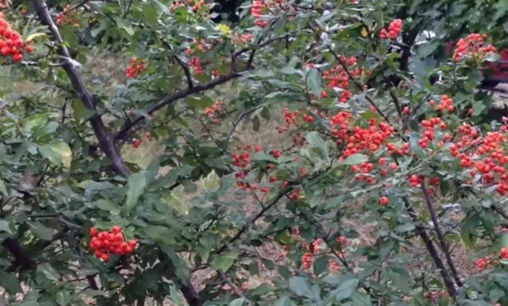 الفوائد الصحية لنبات الزعرور